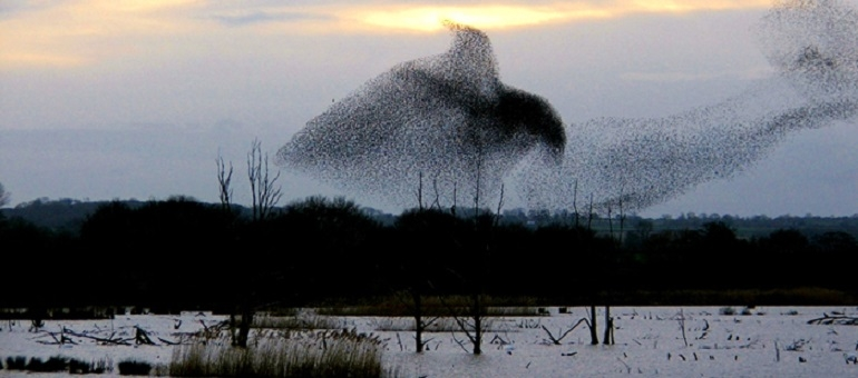 Starlings Spectacular |  Somerset