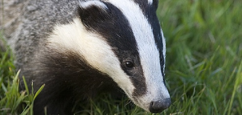 Badger Watch | Dorset