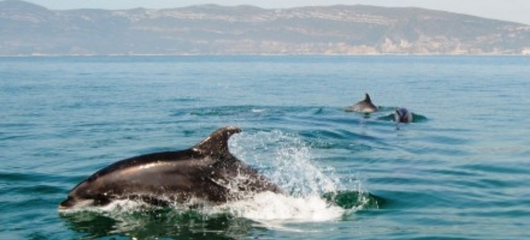 Dolphin Watching I Portugal